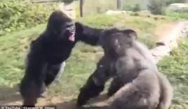 Video: Hai chú khỉ đột đánh nhau như phim võ thuật