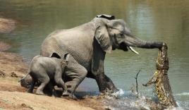 Xuống sông uống nước, voi rừng bị sát thủ đầm lầy mai phục ngoạm trúng vòi