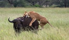 Sư tử xé bụng trâu mẹ, ăn thịt trâu con