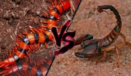 Clip: Rết kịch độc và bọ cạp giao chiến ác liệt