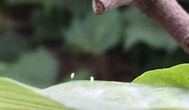 Video: Cận cảnh hoa Ưu Đàm 3.000 năm nở một lần xuất hiện ở Nghệ An?