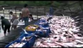 Video: Cá trên đập thủy điện nhiều tới mức dân giăng lưới thép bắt không xuể