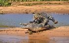 Clip: Báo đốm âm thầm lội sông, ra đòn như chớp tóm cổ cá sấu đang phơi nắng