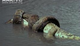 Video: Cá sấu bị trăn khủng phục kích dưới sông nuốt gọn trong chớp mắt