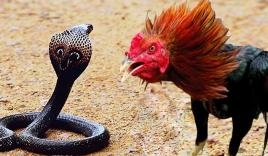 Video: Rắn hổ mang 'nuốt chửng' gà nhà