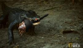 Cá sấu khủng 'nuốt chửng' lợn rừng trong nháy mắt