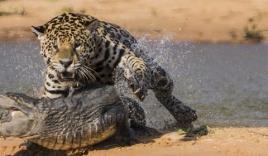 Báo đốm phục kích xơi tái cá sấu