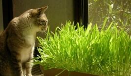 Mách bạn cách trồng cỏ mèo từ hạt giống cho người nuôi mèo