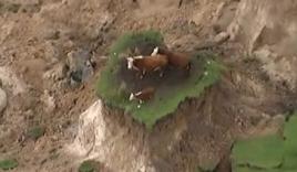 Ba chú bò chen chân trên đụn đất sau trận động đất