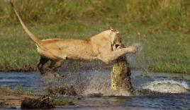 Cá sấu khổng lồ đánh nhau với hổ
