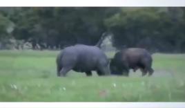 Tê giác khổng lồ đánh nhau với 4 con trâu rừng