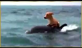 Chó liều mạng nhảy xuống biển đuổi nhau với cá mập