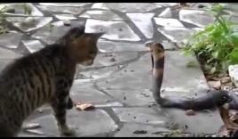 Rắn hổ mang tấn công đàn mèo con