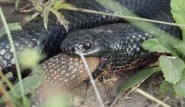 Cuộc chiến của 2 con rắn độc