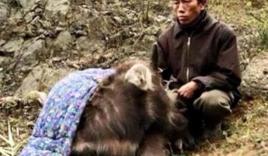 38 con trâu, bò ở Sa Pa chết rét