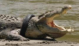 Được kéo khỏi miệng cá sấu khổng lồ, nhà sinh vật học mất tay chân