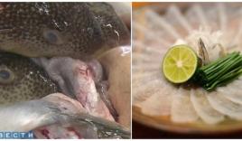 Hành trình gian nan để các bếp trưởng Nhật Bản được phép chế biến cá nóc - một trong những loài cá độc nhất thế giới