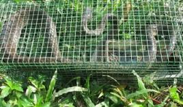 Video: Bẫy được rắn rồng khủng dài 2m ở Sài Gòn