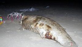 Ngư dân chôn cất xác cá thần dạt vào bờ biển ở Hà Tĩnh