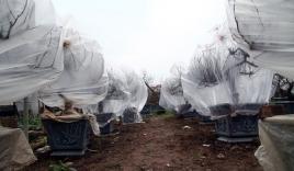 Hà Nội: Người dân lắp điều hòa, bật quạt sưởi, bọc nilon chống rét cho đào Tết