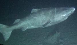 Chiêm ngưỡng thước phim đầu tiên về 'quái vật' 500 tuổi hiếm nhất thế giới: Cá mập Greenland