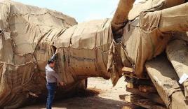 """Để lọt xe chở cây 'quái thú' do CSGT tham gia """"Đại hội Khỏe vì An ninh Tổ quốc"""""""