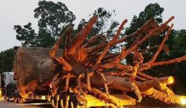 Chiêu thức giúp tài xế chở 3 cây quái thú thoát CSGT nhiều tỉnh thành
