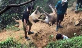 Xót xa 8 con trâu của người dân Hà Giang bị sét đánh chết