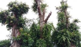 Bất ngờ với hình ảnh ba cây quái thú bị tạm giữ ở Huế sau 5 tháng