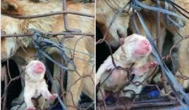 Hình ảnh chú chó con lọt lòng trên đường đến lò mổ khiến dân mạng rớt nước mắt
