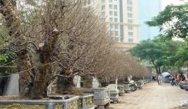 Hà Nội: Đào cổ thụ nghìn đô rục rịch xuống phố đón Tết sớm