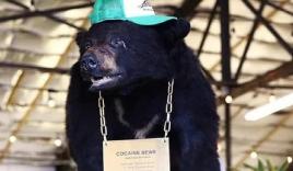 Chuyện gì sẽ xảy ra nếu 1 chú gấu đen đủi ăn hết hơn 30kg ma túy?