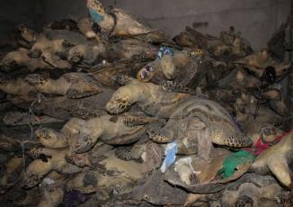 Hàng nghìn cá thể rùa biển quý hiếm được sấy khô