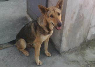Kỳ lạ: Con chó chuyên ra chợ trộm thịt lợn, mang về cho chủ nghèo