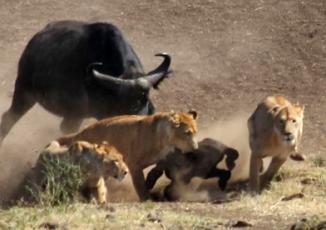 Đời sống - Bò rừng đoàn kết đánh bại sư tử cứu đồng loại