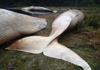 Hơn 300 con cá voi mắc cạn chết tập thể bí ẩn