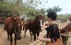 Đàn ngựa tiền tỷ tung tăng giữa Thủ đô
