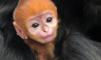 Bé khỉ Mỹ bị mẹ bỏ rơi, bất ngờ được nhân viên vườn thú đặt bằng tên Việt siêu dễ thương
