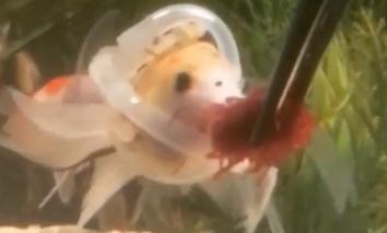 Chú cá đặc biệt phải mặc 'áo phao' để có thể... bơi