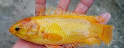 Bắt được cá rô đồng vàng óng quý hiếm