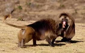 Vua khỉ đầu chó bị 'hạ bệ' vì quá nhiều 'thê thiếp'