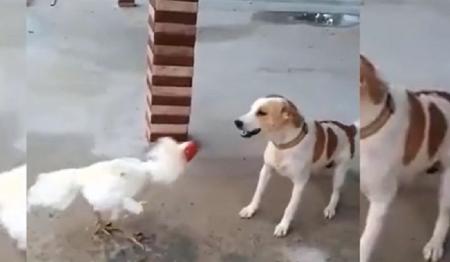 Chó đực có lá gan chuột nhắt bị gà trống lì lợm dạy cho bài học