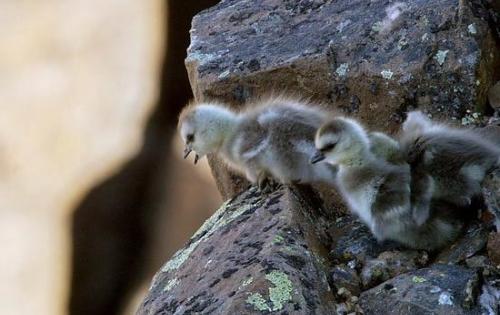 Ngỗng con quăng mình xuống vách đá: Sự thật đằng sau khiến nhiều người rơi nước mắt