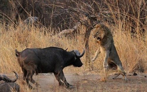 Đi săn 1 mình, sư tử bị trâu rừng cho bẽ mặt