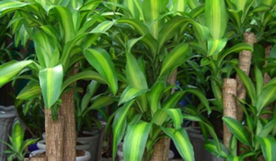Những loại cây cảnh cực độc không nên để trong nhà