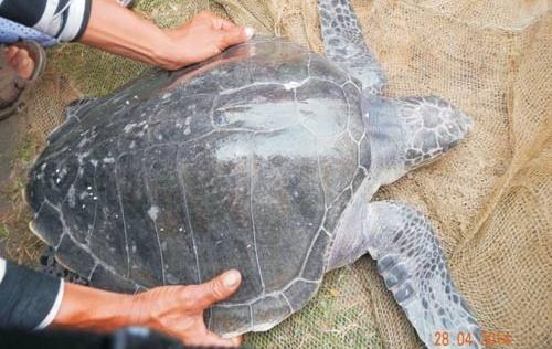 Thừa Thiên Huế: Phát hiện rùa biển quý hiếm nằm trong Sách đỏ Việt Nam
