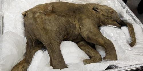 Phát hiện xác ướp voi ma mút 42.000 năm tuổi
