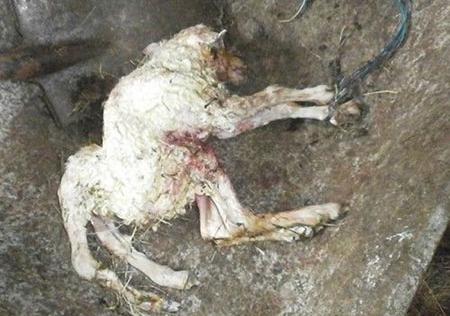 Chú cừu 6 chân mới chào đời ở Ai Len