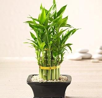 Những loại cây cảnh nên trồng để rước tài lộc về nhà cho gia chủ
