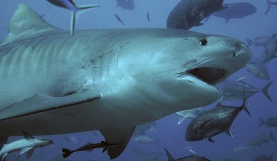 Hàng trăm con cá mập điên cuồng 'xẻ thịt' cá voi khổng lồ